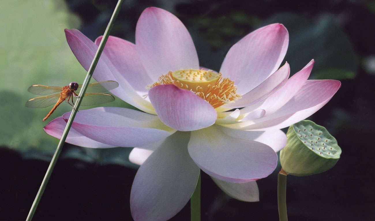 American Lotus-NC