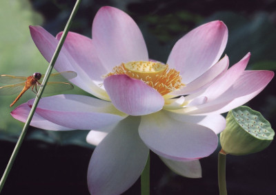 American Lotus and Dragonfly- NC