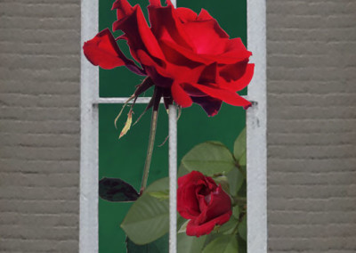 Window American Beauty Rose- Edenton, NC