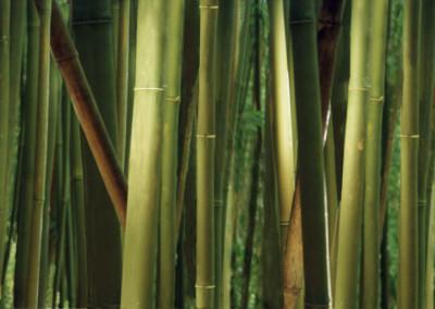 Bamboo Forest- Haleakala, Hawaii