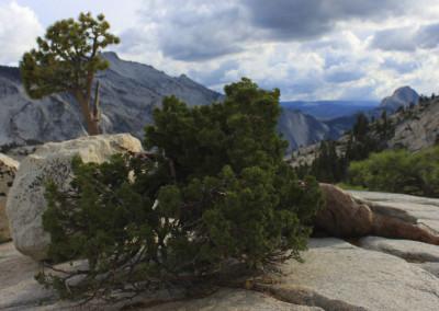 Cypress, Half Dome- Yosemite, CA