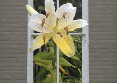 Window Day Lily- Edenton, NC