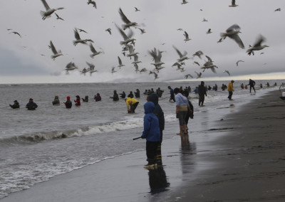 Dip Netting with Gulls at Kenai, AK