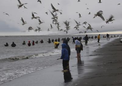 Dip Netting with Gulls at Kenai, AK