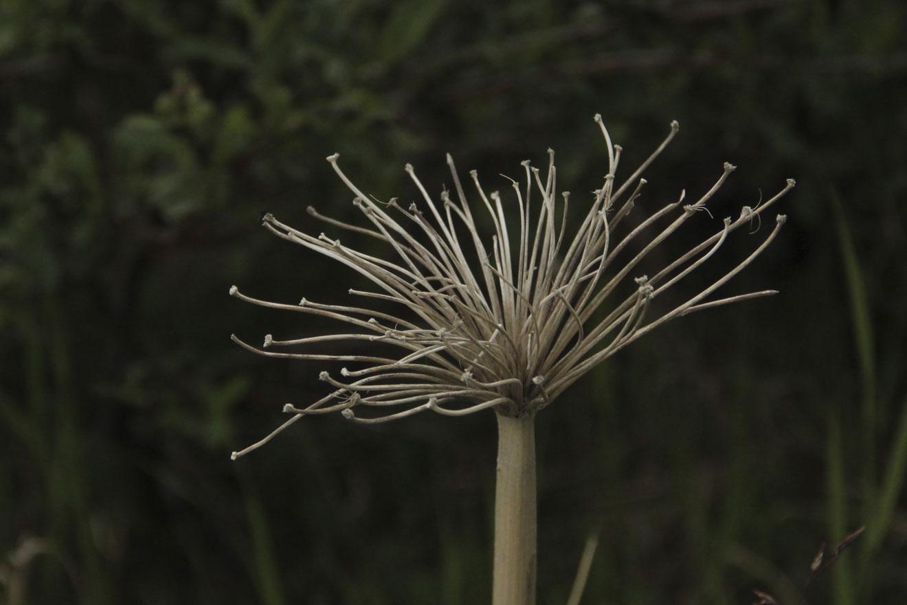 Dried Plant- Denali, AK