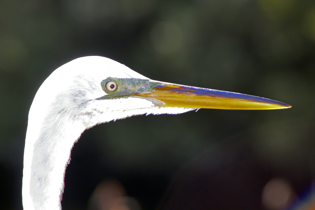Edgar the Egret- Cedar Key, Florida