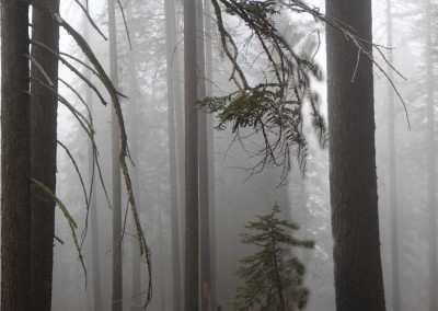 Foggy Forest- Yosemite, CA