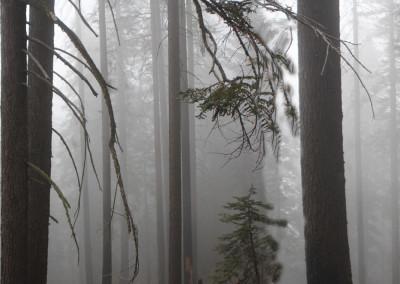 Foggy Forest- Yosemite, CA