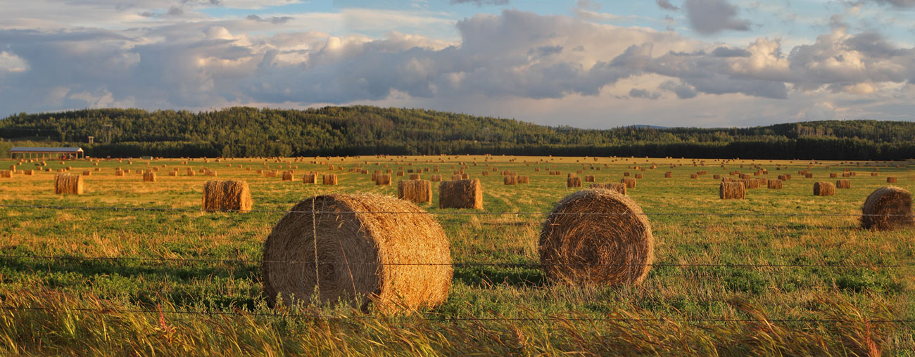 Golden Hay Bale Rolls- British Columbia, Canada