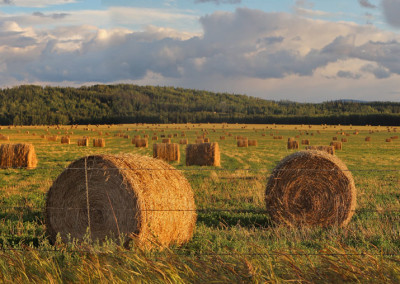 Golden Hay Bale Rolls- BC, Canada