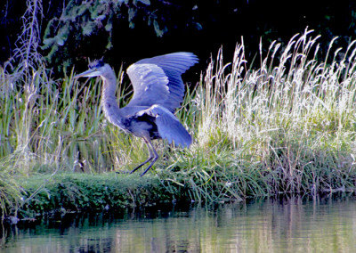 Great Blue Heron- Washington