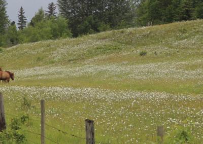 Horses in a Ksan Meadow- British Columbia, Canada