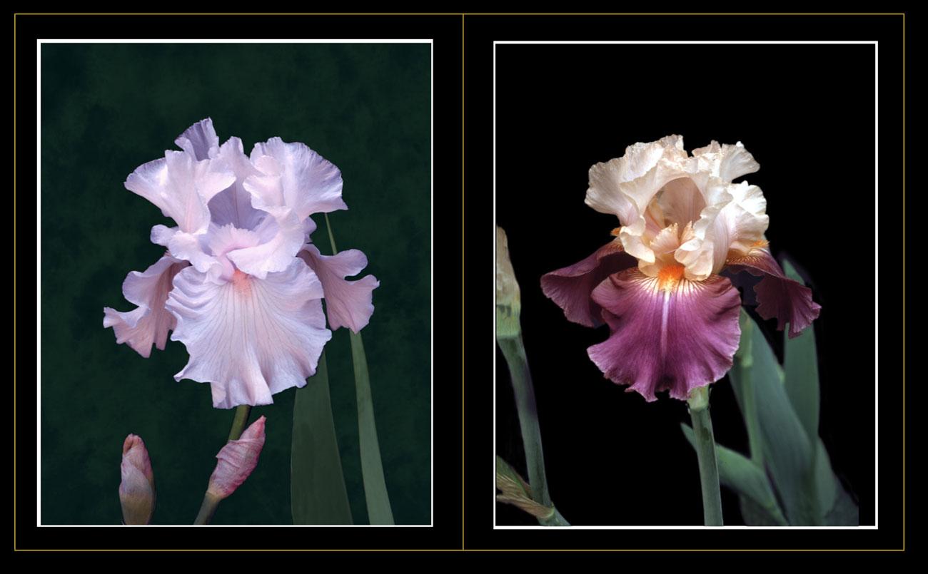 Irises- CA