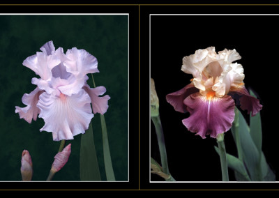 Chantilly and Sweet Louise Irises- San Jose, CA