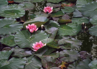 Monet's Water Lilies- Giverny, France