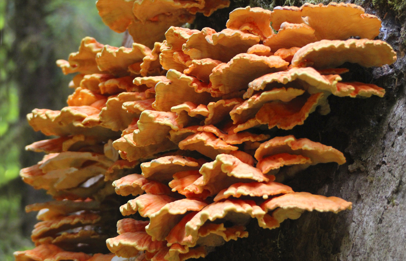Orange Mushrooms- Hoh Rain Forest, Washington