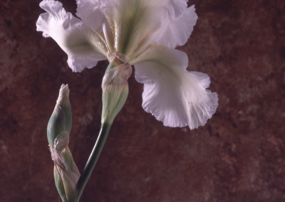 Princess Diana Iris- London, England