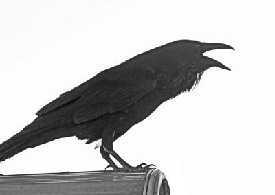 Raven- Yosemite, CA