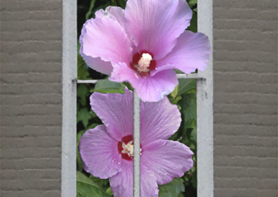 Window Rose of Sharon- Edenton, NC
