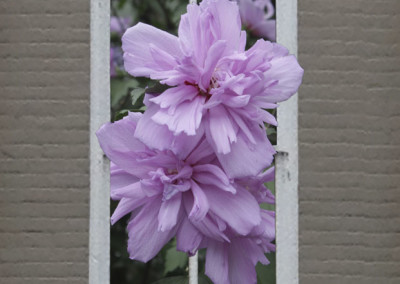 Window Double Rose of Sharon- Edenton, NC