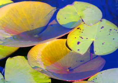 Water Lily Leaves- St George Island, FL