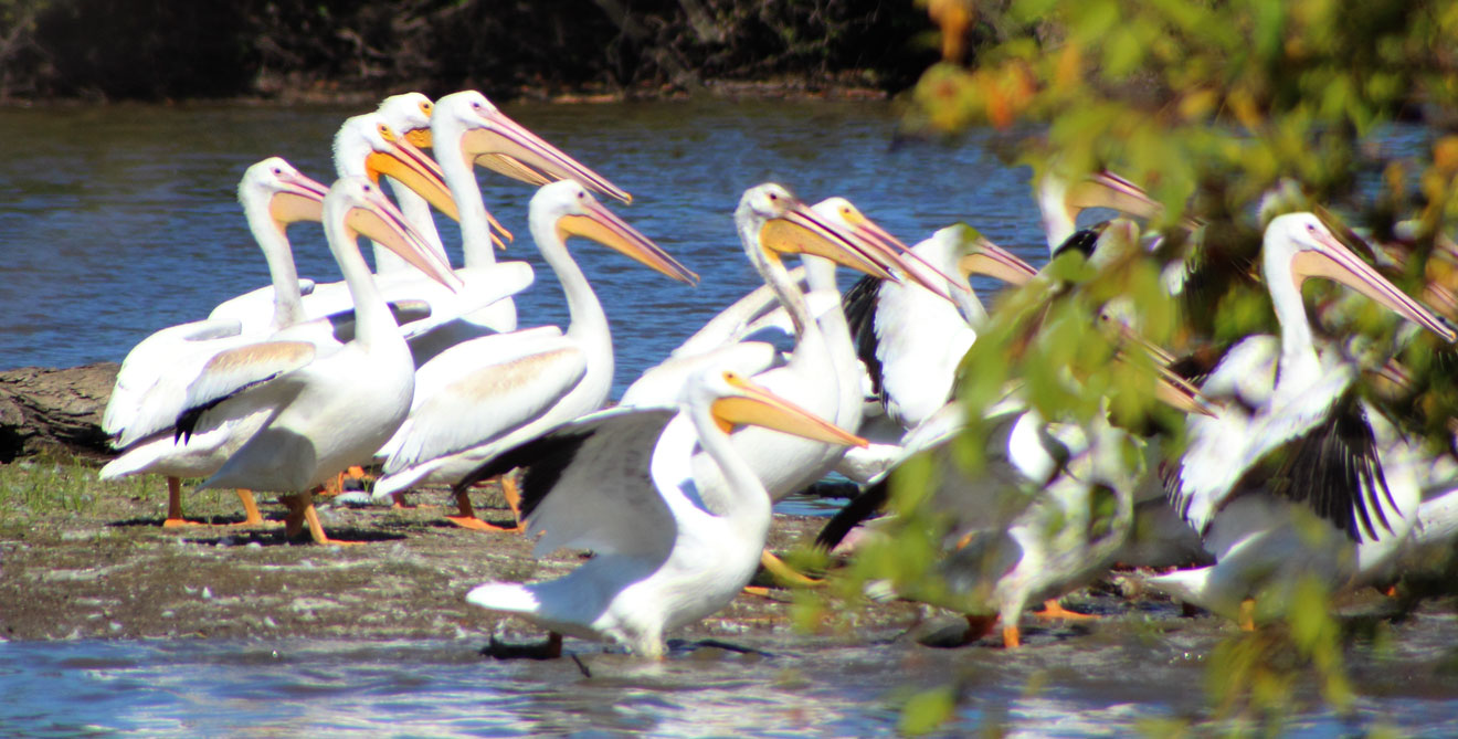 White Pelicans- Alabama