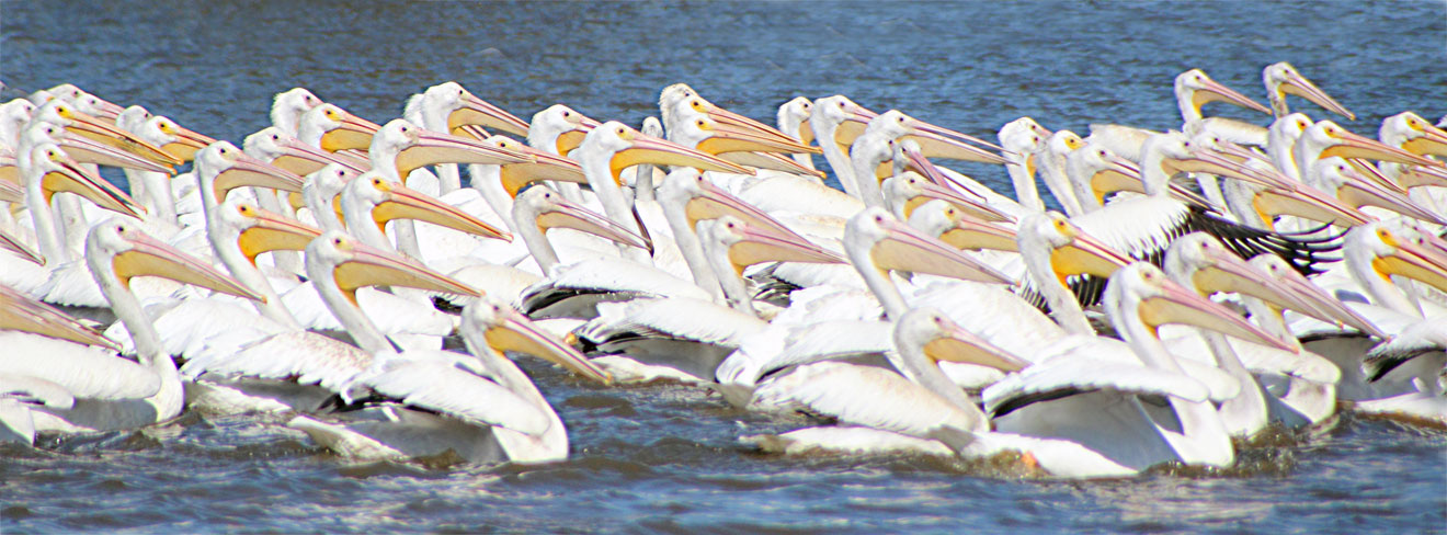 White Pelicans Parade- Alabama