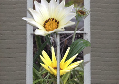 Window White Star Gazania- Edenton, NC