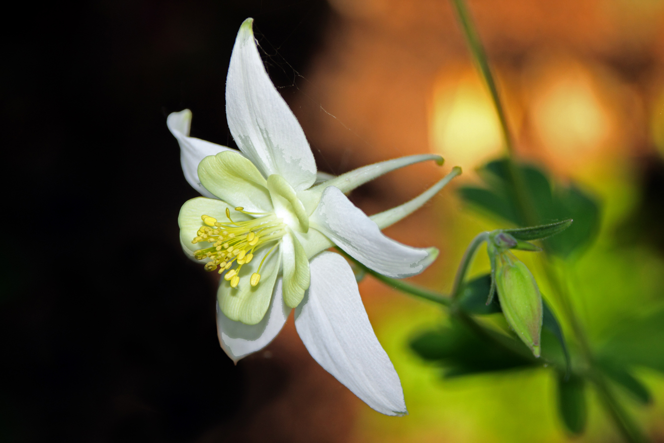 White Columbine- VA