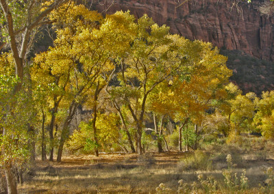 Yellow Cottonwoods- Zion National Park, Utah