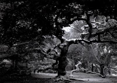 Sycamore- Boston Arboretum, MA