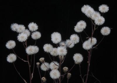 White Puffs- McCarthy, AK