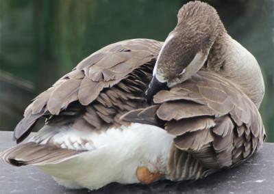 Canada Goose Preening- NC